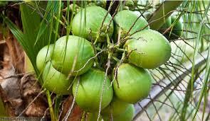 cocnut new
