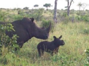2 week old rhino